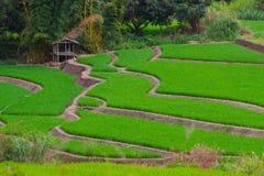 Ris Thailand Royaltyfri Bild