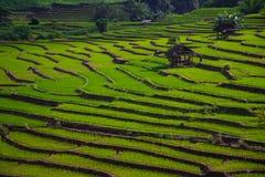 Ris Thailand Arkivbilder