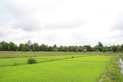 Ris Thailand Royaltyfri Foto