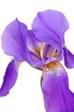 Íris violeta Fotografia de Stock Royalty Free