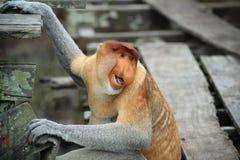 Risa del mono de probóscide Fotografía de archivo
