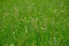 risaia Fotografie Stock