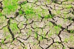 Risaia arida. Fotografia Stock