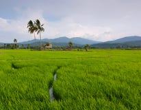 Risaia con cielo blu a Kota Marudu, Sabah, Malesia orientale Fotografia Stock