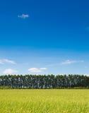 Risaia con la nuvola di bianco del cielo blu Fotografia Stock