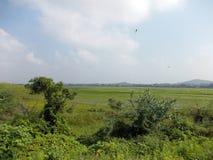 Risaia con le libellule Fotografie Stock
