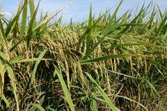 Risaia con risaia matura sotto il cielo blu Fotografia Stock