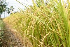 Risaia del giacimento del riso in pianta fotografia stock