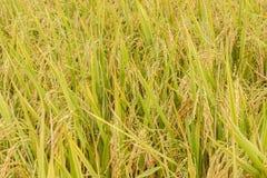 Risaia del giacimento del riso in pianta fotografie stock libere da diritti