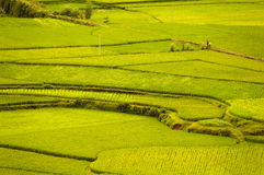 Risaia di riso Fotografia Stock Libera da Diritti