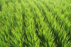 Risaia di riso Immagini Stock
