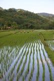 Risaia di riso Fotografie Stock