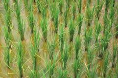 Risaia di riso Fotografia Stock