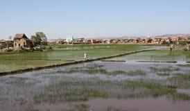 Risaia di riso del Madagascar Fotografia Stock Libera da Diritti