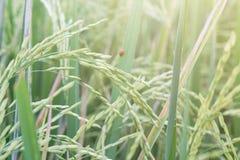 Risaia di riso verde Immagine Stock Libera da Diritti