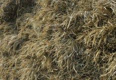 Risaia dopo il raccolto, riso Immagine Stock