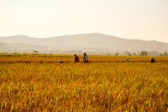 Risaia e agricoltori gialli a terreno coltivabile Immagini Stock Libere da Diritti