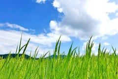 Risaia e cielo blu Fotografia Stock Libera da Diritti