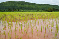 Risaia ed i semenzali del riso Fotografia Stock