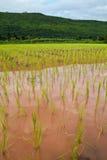 Risaia ed i semenzali del riso Immagine Stock