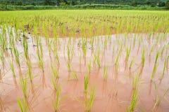 Risaia ed i semenzali del riso Immagini Stock Libere da Diritti