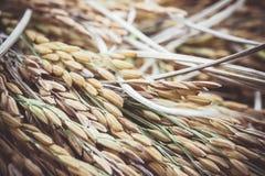 Risaia gialla della risaia raccolta durante la raccolta della stagione colto Fotografia Stock