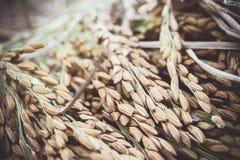 Risaia gialla della risaia raccolta durante la raccolta della stagione colto Fotografie Stock
