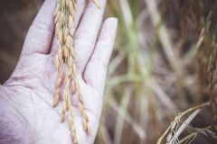 Risaia gialla della risaia raccolta durante la raccolta della stagione colto Fotografia Stock Libera da Diritti