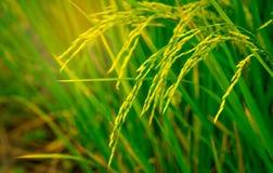 Risaia nelle risaie e nella piantagione del riso in Tailandia Azienda agricola organica del riso in asiatico Fondo di agricoltura Fotografia Stock Libera da Diritti