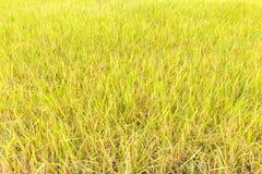 Risaia organica nell'azienda agricola del campo, agricoltura principale in Tailandia Fotografia Stock