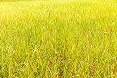 Risaia organica nell'azienda agricola del campo, agricoltura in Tailandia Immagini Stock Libere da Diritti