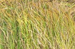 Risaia, pianta di riso nella vista superiore Fotografia Stock
