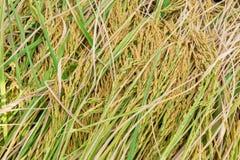 Risaia, pianta di riso in primo piano Fotografia Stock Libera da Diritti