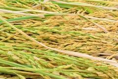 Risaia, pianta di riso in primo piano Immagini Stock Libere da Diritti