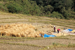 Risaia, Sopsokha, Bhutan Fotografia Stock Libera da Diritti
