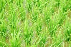 Risaia verde fotografia stock libera da diritti