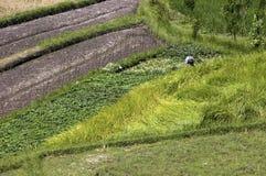 Risaia verde in Bali Fotografia Stock