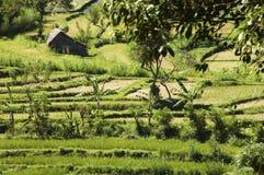 Risaia verde in Bali Fotografie Stock