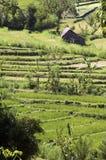 Risaia verde in Bali Immagini Stock