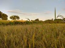 Risaia verde con la vista del cielo immagine stock