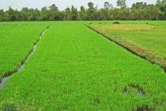 Risaia verde fertile, delta del Mekong, Vietnam Fotografie Stock Libere da Diritti