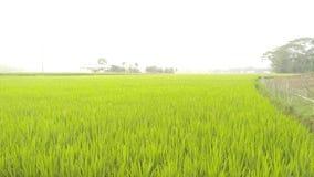 Risaia verde nel Bangladesh fotografie stock libere da diritti
