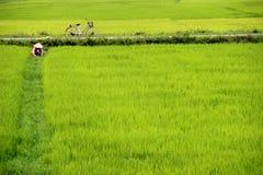 Risaia, Vietnam Immagini Stock