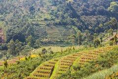 Risaie a Bandung immagine stock libera da diritti