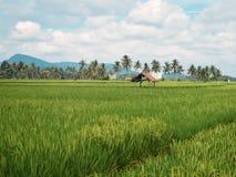Risaie, capanna, baracca, paesaggio della montagna, palme Fotografia Stock