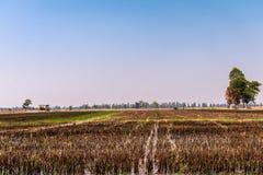 Risaie che sono state raccolte e stanno preparando per la piantatura seguente del riso fotografie stock