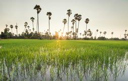 Risaie con l'albero della palma da zucchero al tramonto Fotografia Stock Libera da Diritti