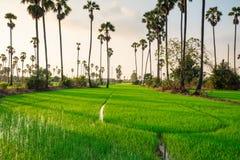Risaie con l'albero della palma da zucchero al tramonto Fotografie Stock Libere da Diritti