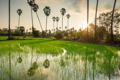 Risaie con l'albero della palma da zucchero al tramonto Immagine Stock