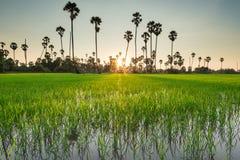 Risaie con l'albero della palma da zucchero al tramonto Immagini Stock Libere da Diritti